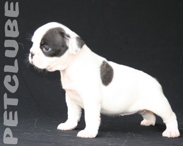 Bulldog Frenchie