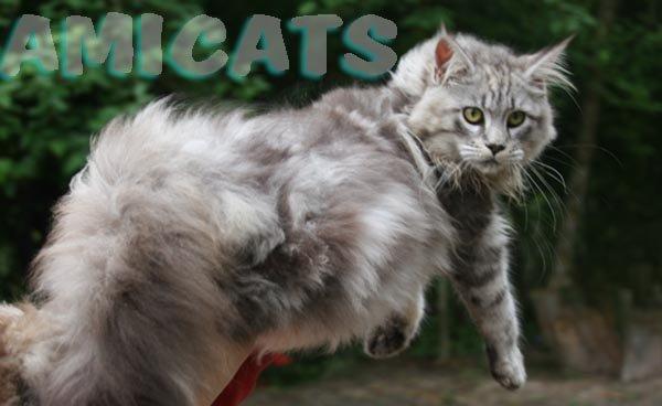 Gatil Rio de Janeiro Venda Gato Persa Himalaia: FILHOTES