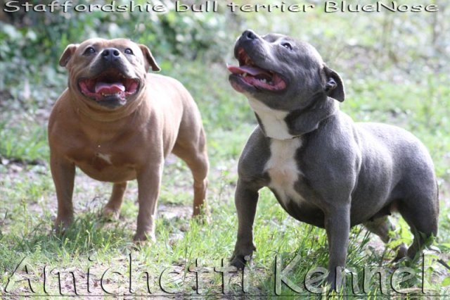 CANIL AMICHETTI GATIL AMICATS Cães Parrudos e Gatos Gigantes