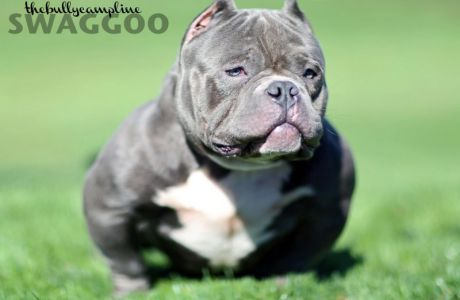 Checkout Primo, the Daxline version of the new Exotic Bully. Primo is off of a Dax daughter bred to Chavez Bully Camp's Mr. Miagi. In this video Primo is three years old. Music.
