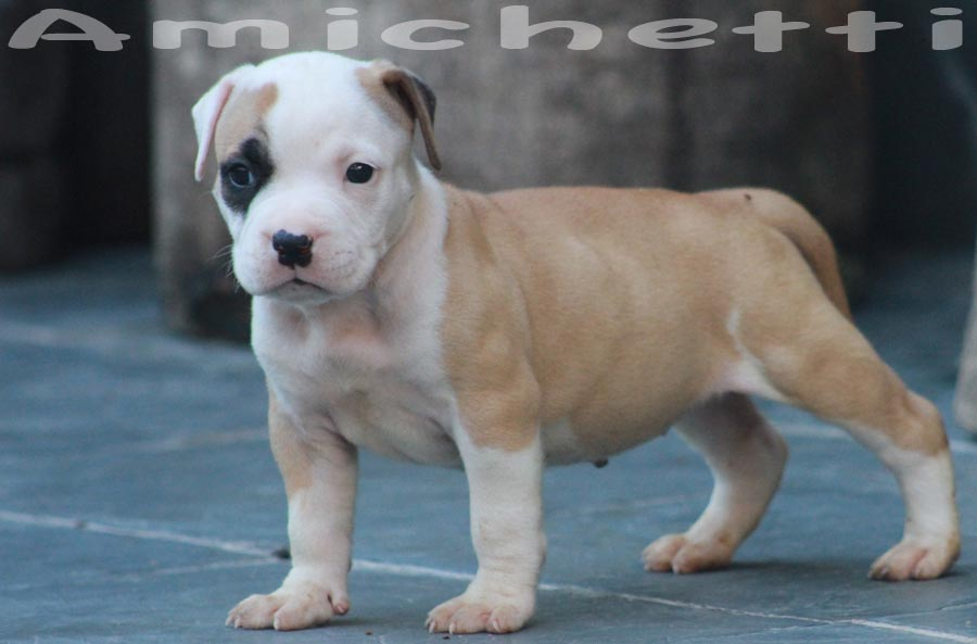 American Bully Super American Staffordshire Terrier Cinza Canil | Dog
