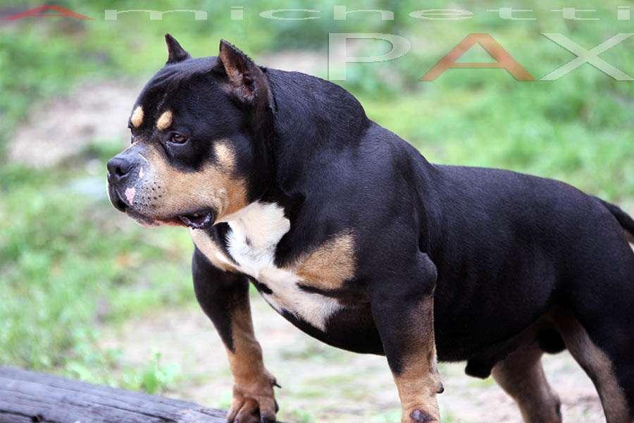 Petclube Filhotes Cães Bully Gatos Gigantes Criadores