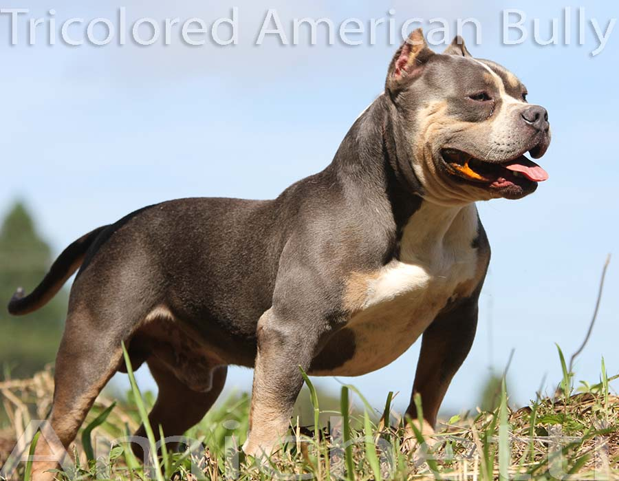 american bully tri color blue