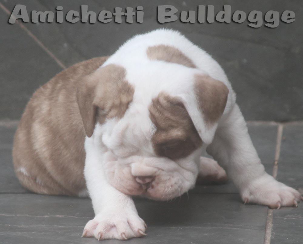 Bulldog Inglês Rare Color Raro Chocolate Tan Azul Cinza Tan Lilac