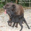 staffordshirebullterrierpuppies