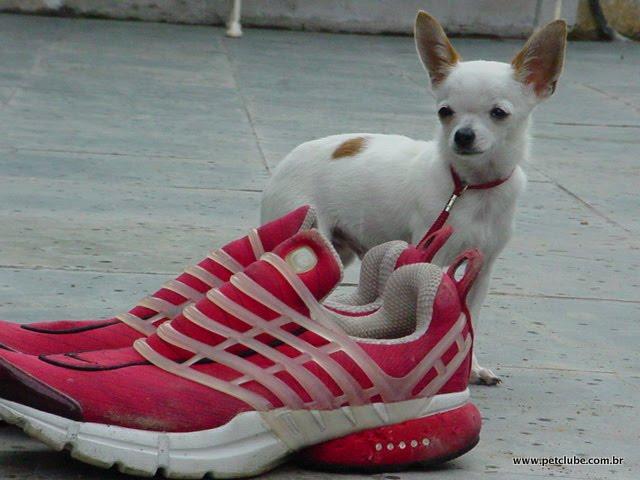 Chihuahua Macho Adulto Pai dos Filhotes Canil Amichetti de Juquitiba