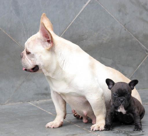 de frenchie bulldog  O Bulldog Baba Muito