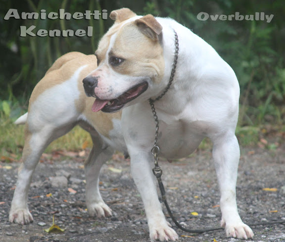 American Bully Super American Staffordshire Terrier Cinza Canil | Dog ...