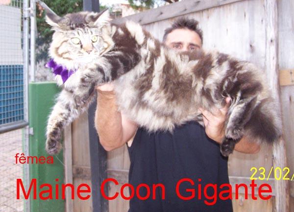Filhotes Maine Coon e Gatos Gigantes da Floresta
