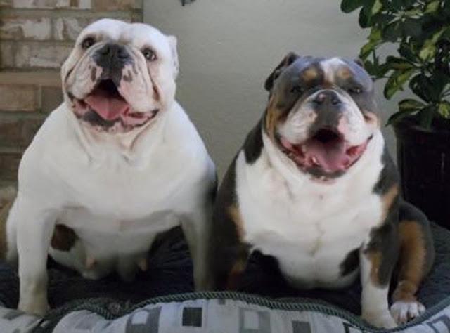 Bulldog Inglês Cor Rara Tricolor Buldogue Filhotes A Venda Preço