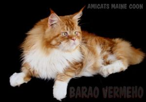 MAINE COON GIANT CAT BRASIL