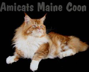 AMICATS MAINE COON GIANT CAT