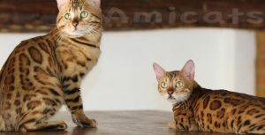 bengal cat pics amicats gatil