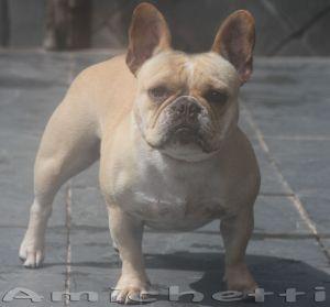 O Mini Bulldog   Sucesso nos O Bulldog Baba Muito