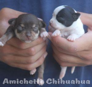 Chihuahua: O menor cão do Mundo Filhotes Preço Fotos Temperamento