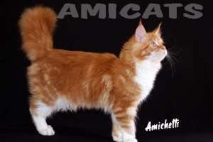 MAINE COON AMICATS