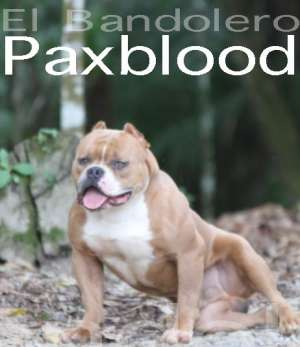 american bully bandolero xtreme pocket