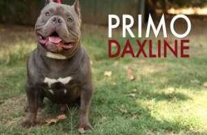 Primo DaxLine American Bully Exotic Foto pic