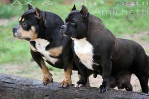 american-bully-exotic-bully super-american-bully-pitbull.html