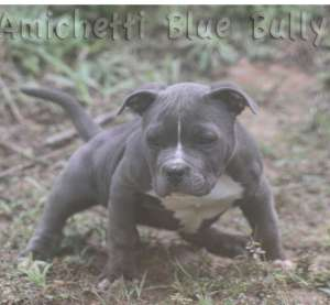 pocket bully blue nose