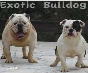 bulldog english bulldog