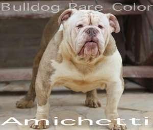 bulldog rare color exotic bulldog
