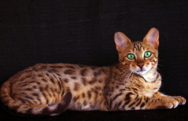 Gato – Wikipédia, a enciclopédia livre