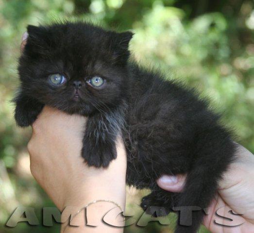 Preço de gatos da raça Maine Coon. Quanto custa?