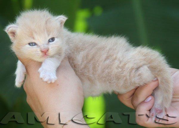 Maine Coon - O Gato Mais Comprido do Mundo!