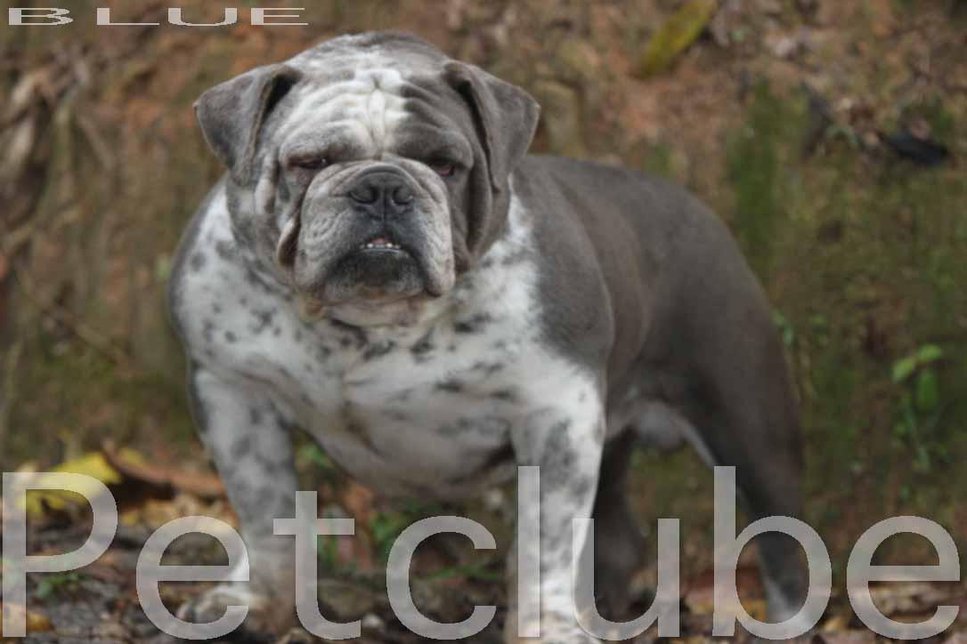 Brand New /& Sealed Bully Bulldog White//Blue