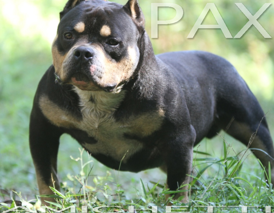 American Bully EXTREME PAX