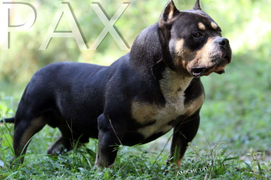 Pocket Bully | www.pixshark.com - Images Galleries With A