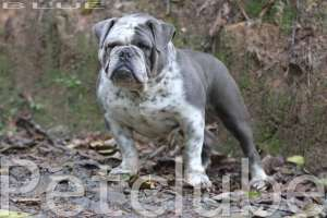 HITHBLUELOW ENGLISH BULLDOG PETCLUBE BULLDOG CAMP