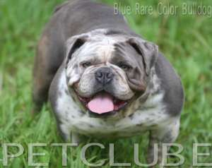 RARE COLOR ENGLISH BULLDOG
