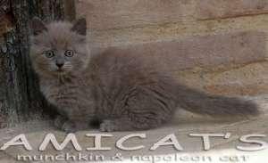 Napoleon Munchkin cat kitten pups sale filhotes gatil criadores Amicats