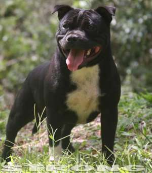 STAFFORDSHIRE BULL TERRIER STRONG
